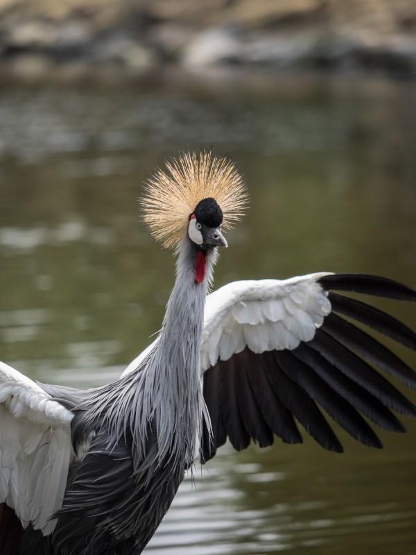羽を広げるホオジロカンムリヅル