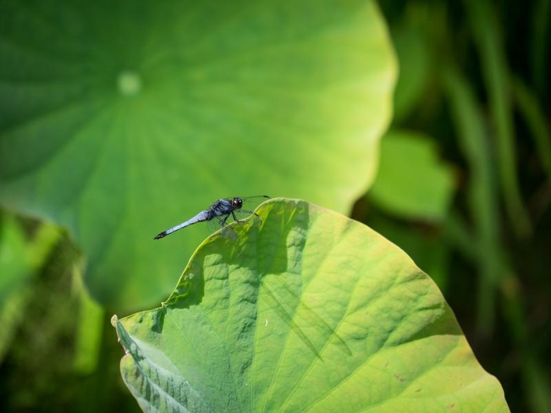蓮の葉にとまるシオカラトンボ