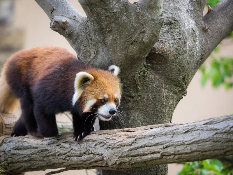 木の上を歩くシセンレッサーパンダ