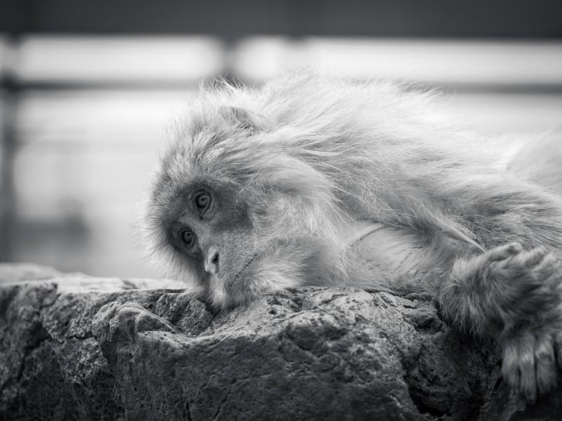 横になっているお猿(モノクロ)