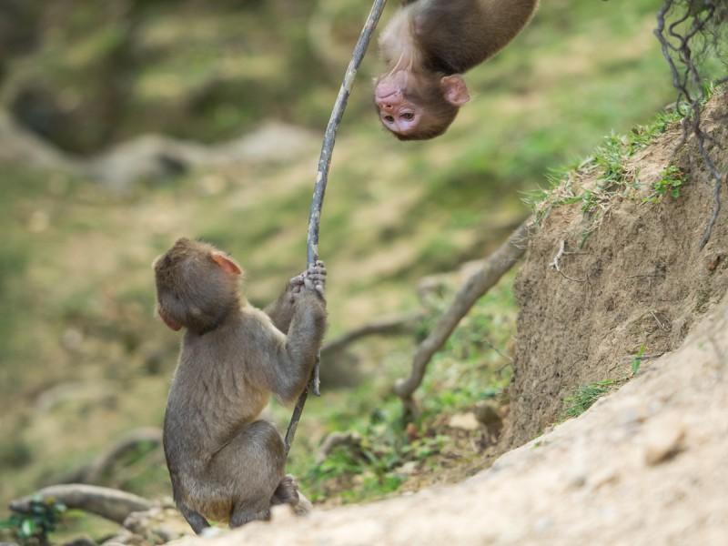 遊んでいる2頭の子猿