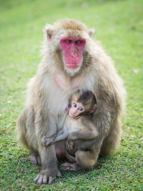 お母さんのお乳を吸う子猿