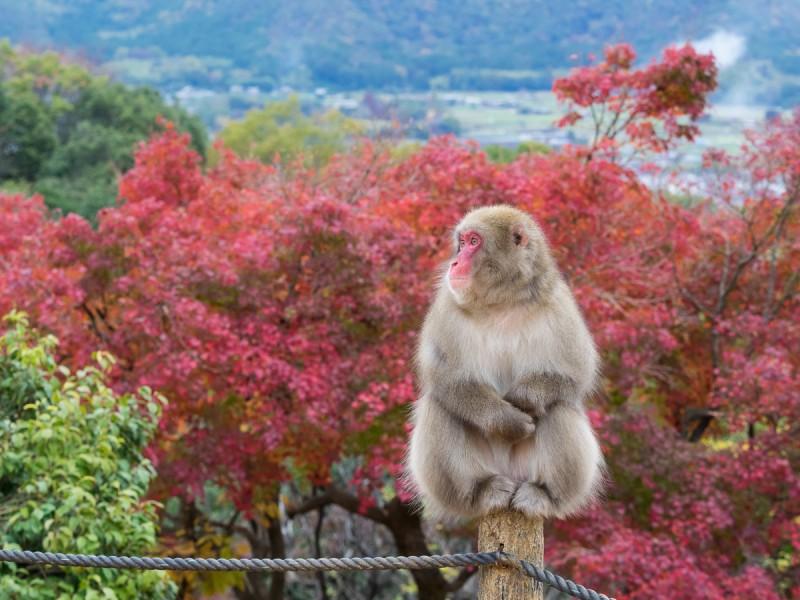 お猿と紅葉