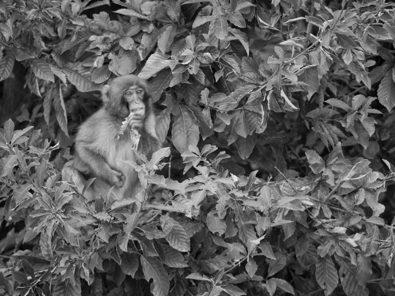 木の上で葉っぱをかじるお猿