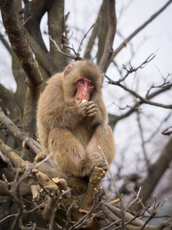 木の上でリンゴをかじるお猿