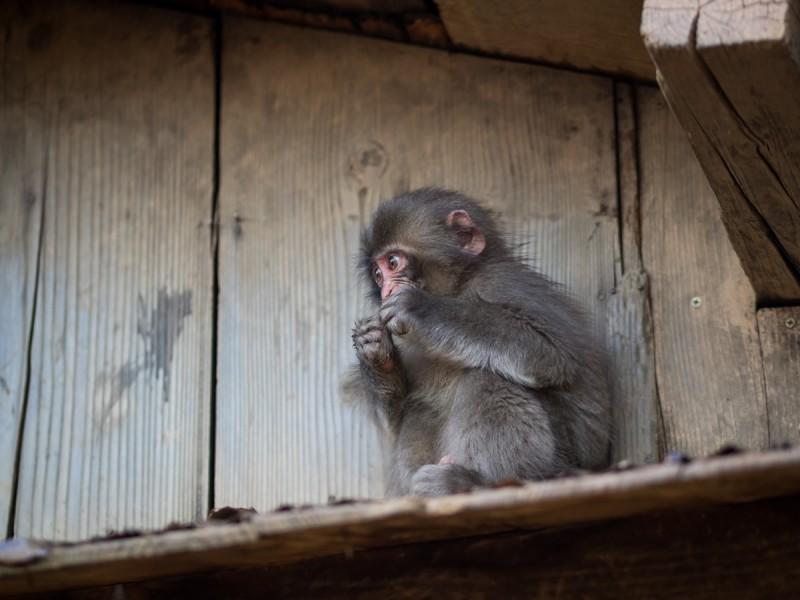 隠れてエサを食べる子猿