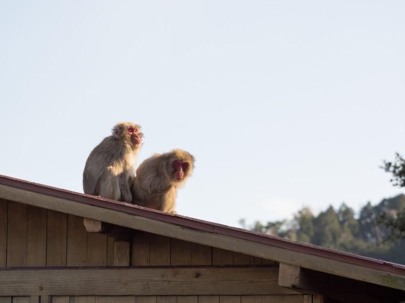 屋根の上で寄り添う2頭のお猿