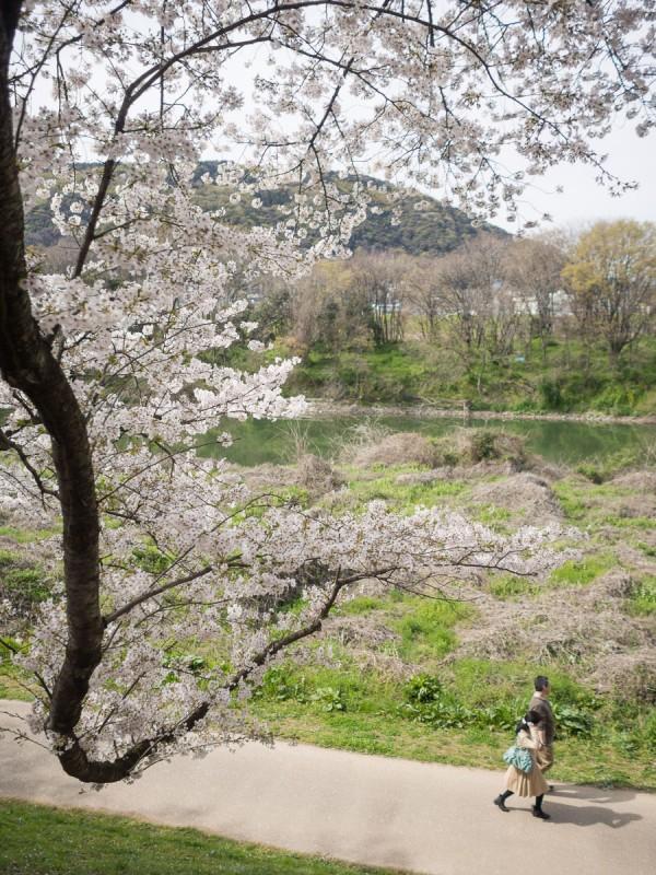 背割提の桜