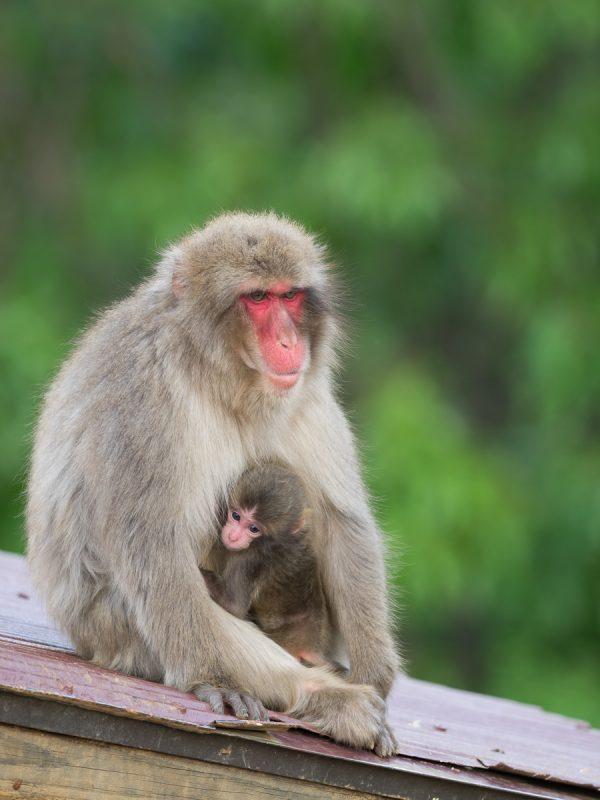 屋根の上にいるお猿の親子