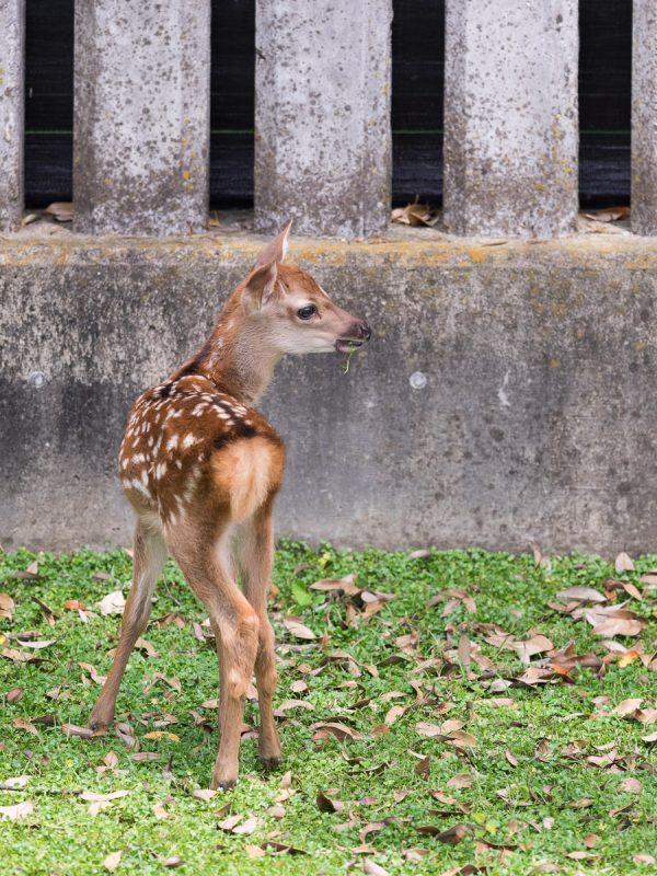 葉っぱを咥える鹿の赤ちゃん