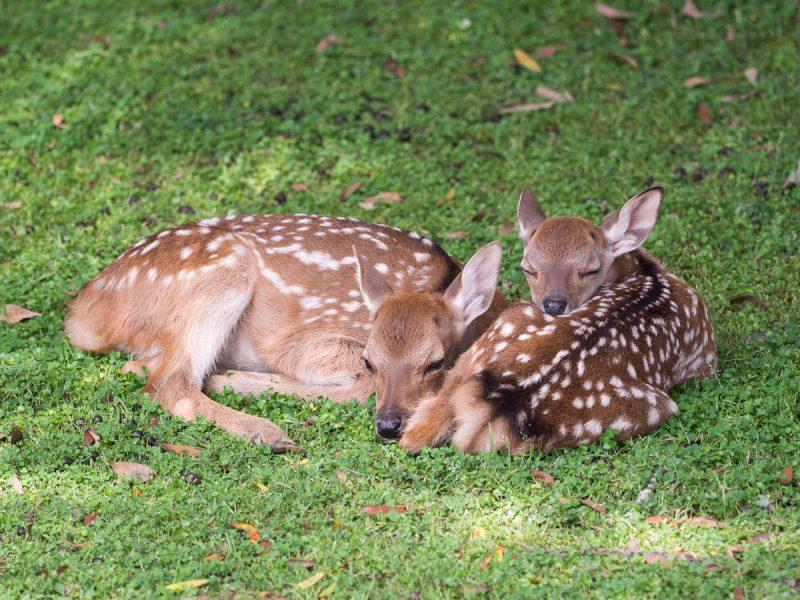 寝ている2頭の子鹿