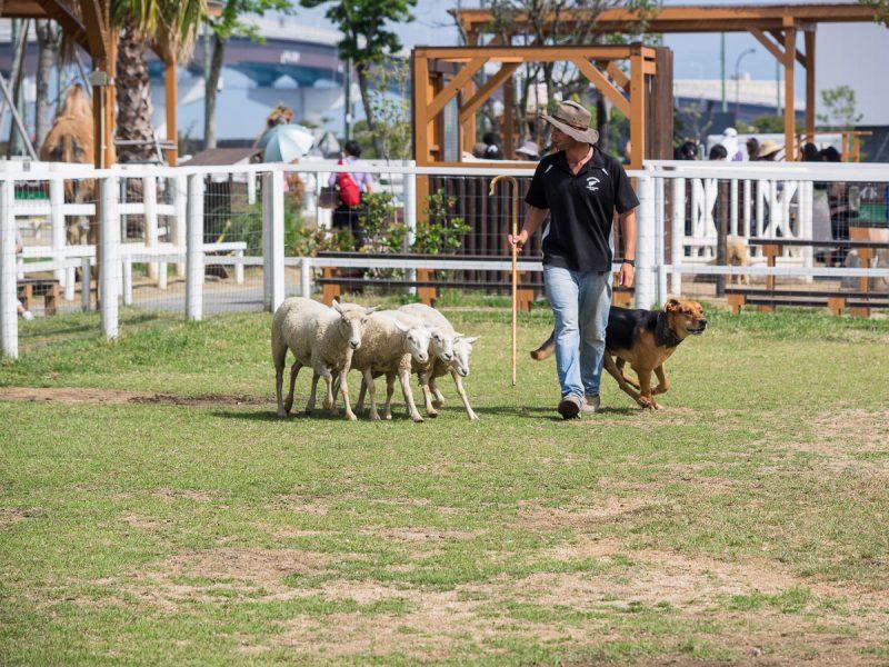 羊飼いイメルとニュージーランドハンタウェイ(犬)とコリデール(羊)