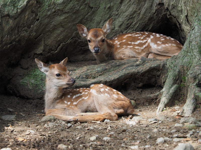 2頭の子鹿