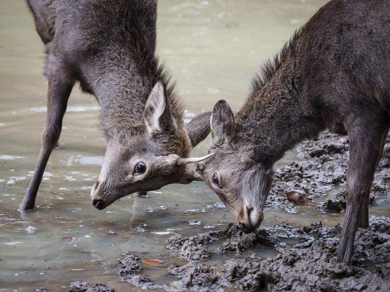 雄鹿の喧嘩