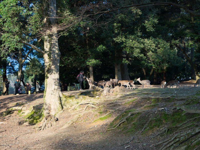 奈良公園で鹿に鹿せんべいをあげる外国人観光客