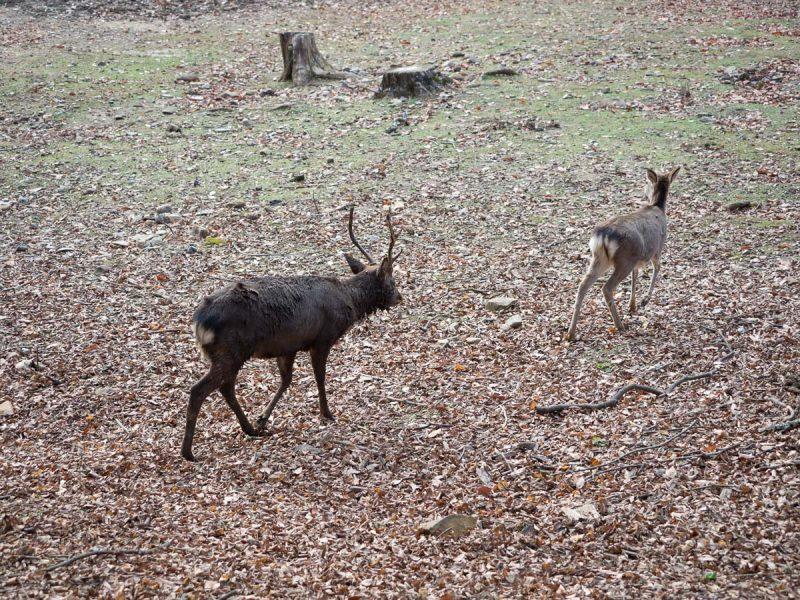 雌鹿を追う雄鹿