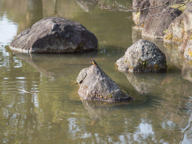 魚を咥えるカワセミ