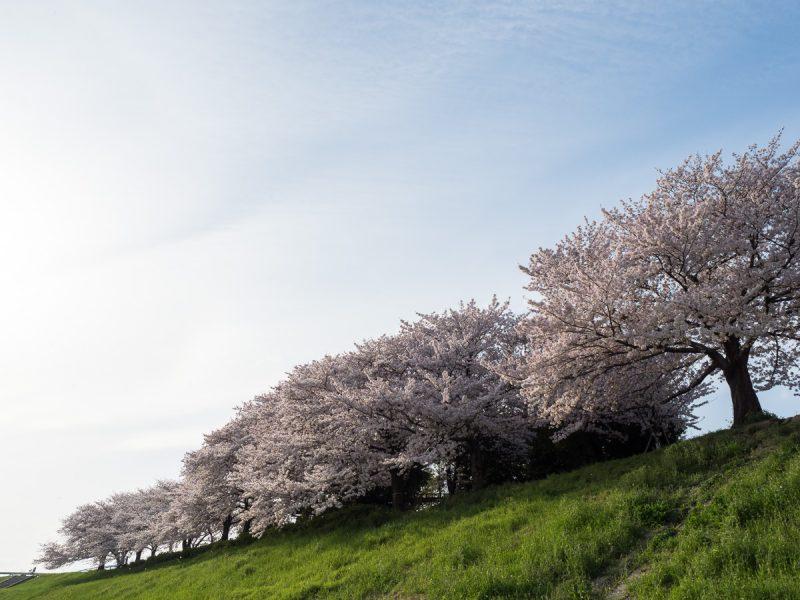 青空と桜並木