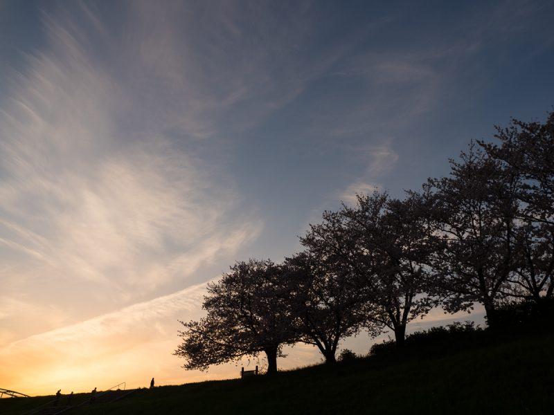 桜並木とマジックアワー