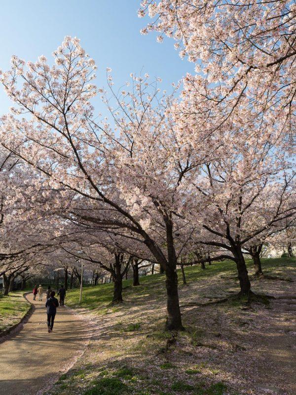 桜之宮公園の桜