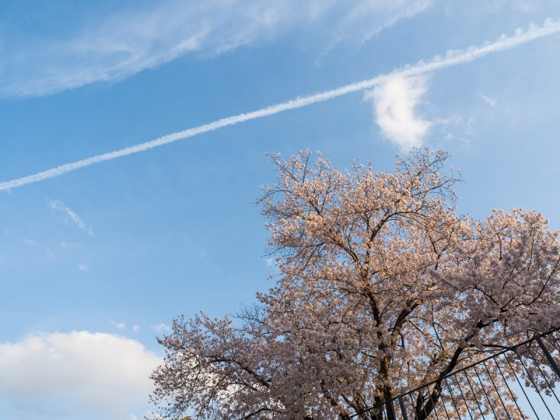 青空と桜と飛行機雲