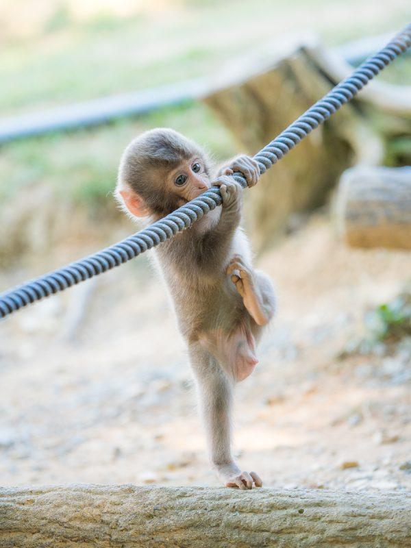 ロープで遊ぶお猿の赤ちゃん