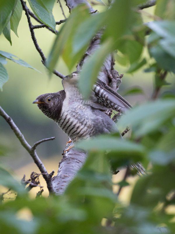 羽を広げるツツドリ