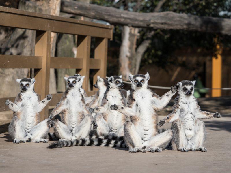 ワオキツネザル7匹の日光浴
