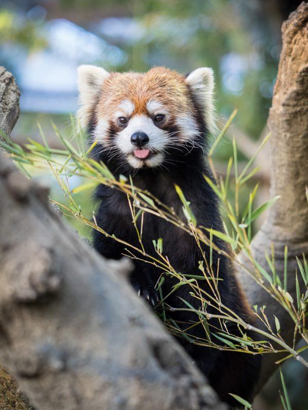 舌を出すレッサーパンダ