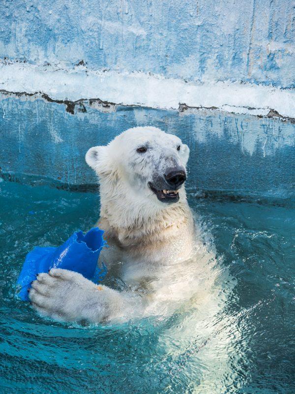 プールで遊ぶ、天王寺動物園のホッキョクグマ、イッちゃん
