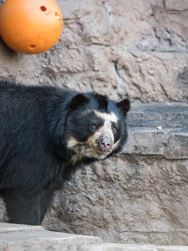 天王寺動物園のメガネグマ「プッペ」