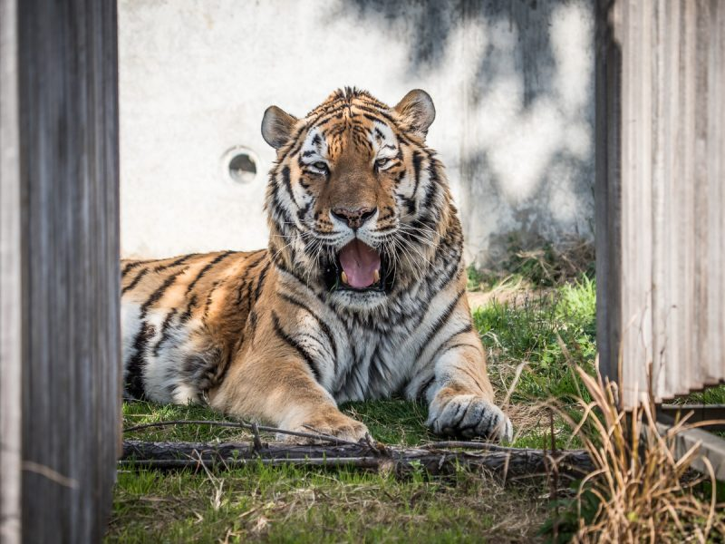 天王寺動物園のアムールトラ