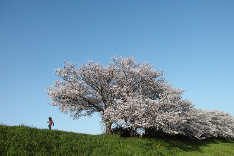 毛馬の桜と少女