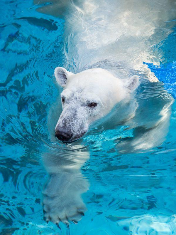 プールで泳ぐホッキョクグマのイッちゃん