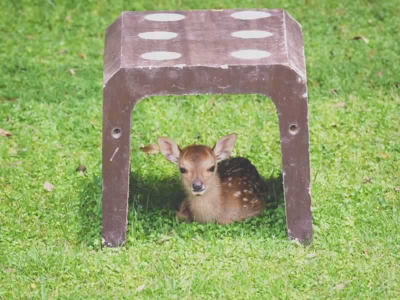 鹿苑の鹿の赤ちゃん