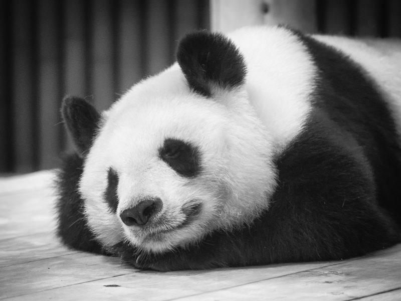 王子動物園のジャイアントパンダ「旦旦」