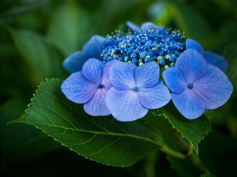 青のガクアジサイ