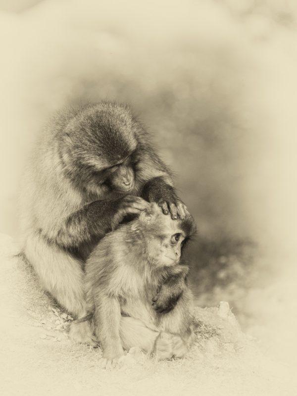 子猿を毛繕いする母猿