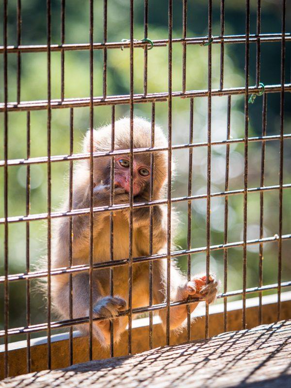 リンゴをかじる子猿