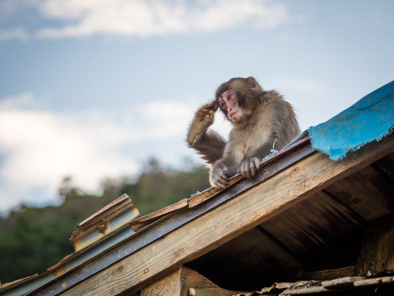 屋根の上でくつろぐ子猿