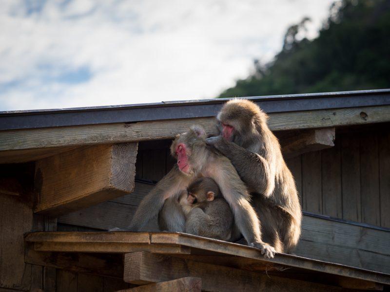 屋根の上で毛繕い中のお猿の家族
