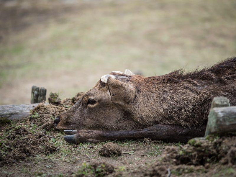 雄鹿の泥浴び