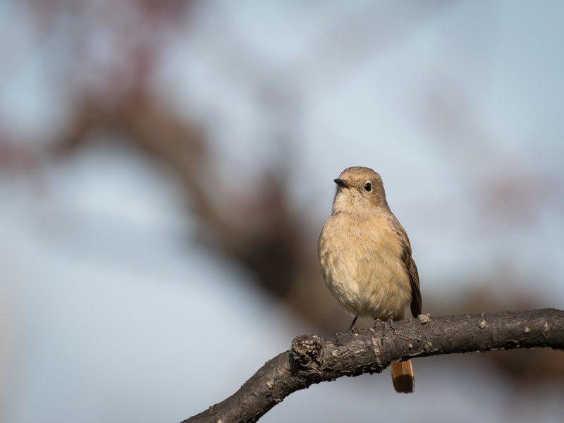 梅の木にとまるジョウビタキ雌