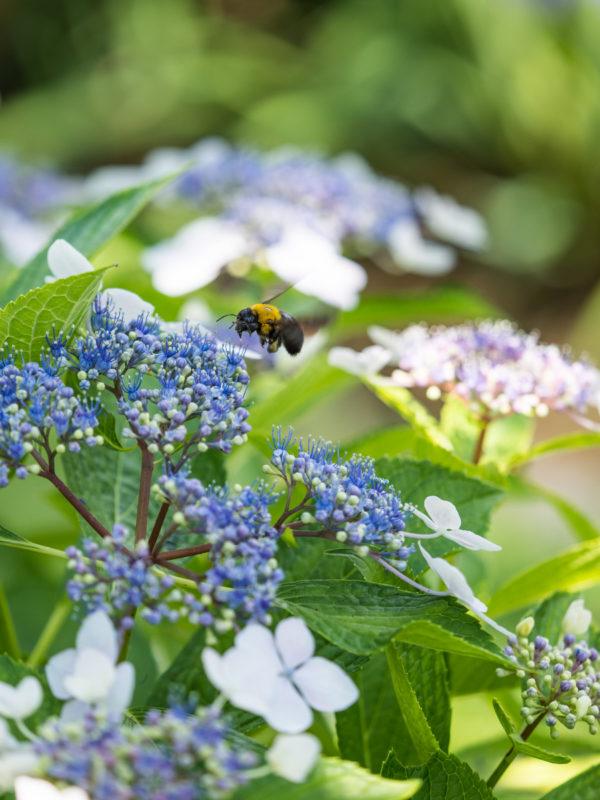 紫陽花にクマバチ