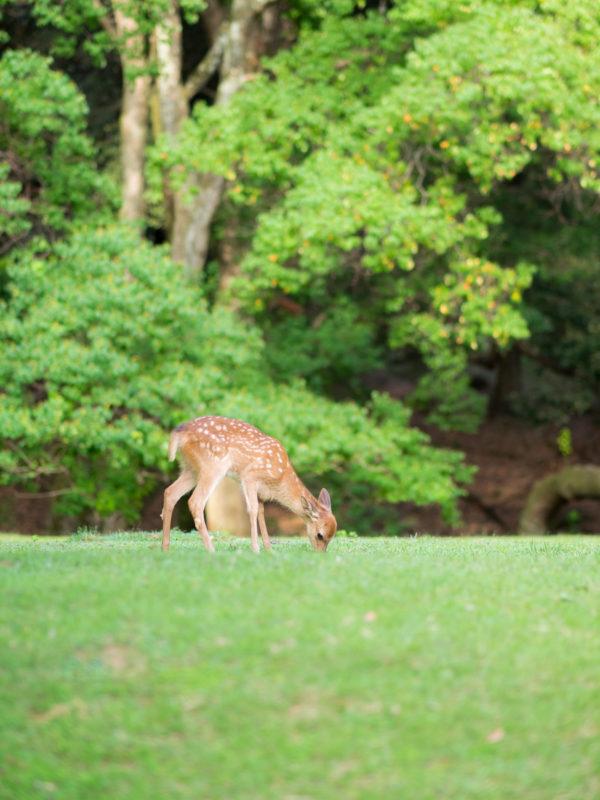 芝を食む子鹿
